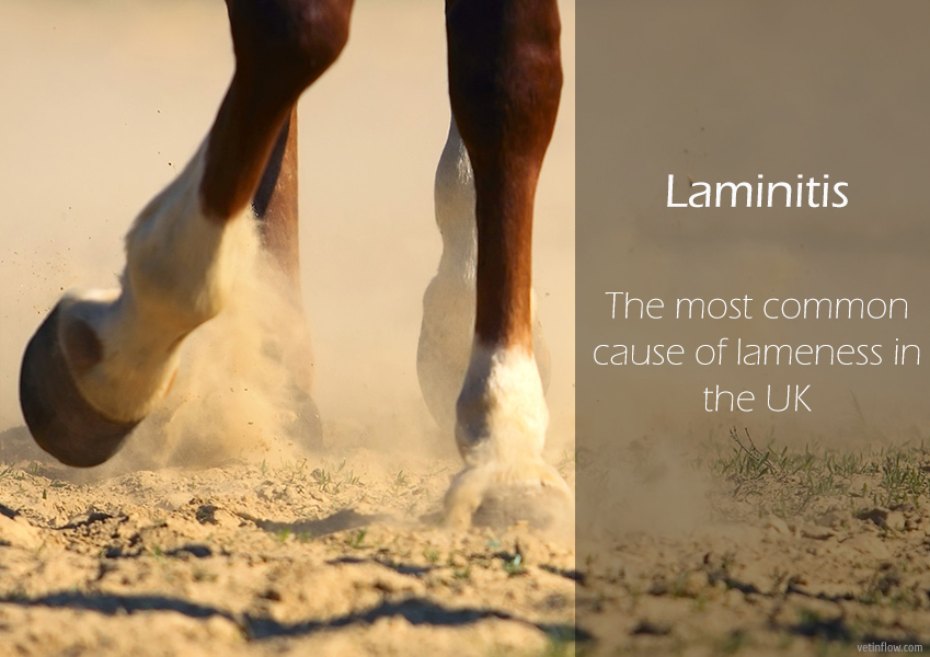 Laminitis - The most common cause of lameness in the UK