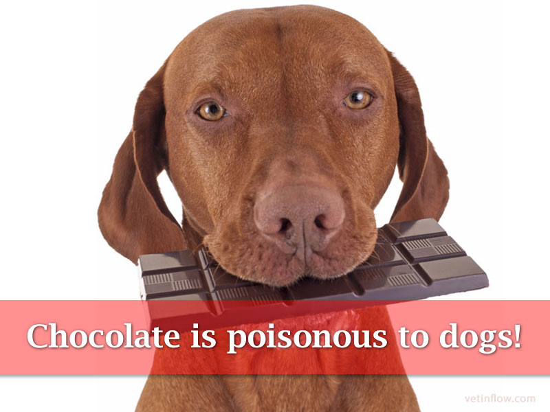Chocolate is poisonous to dogs