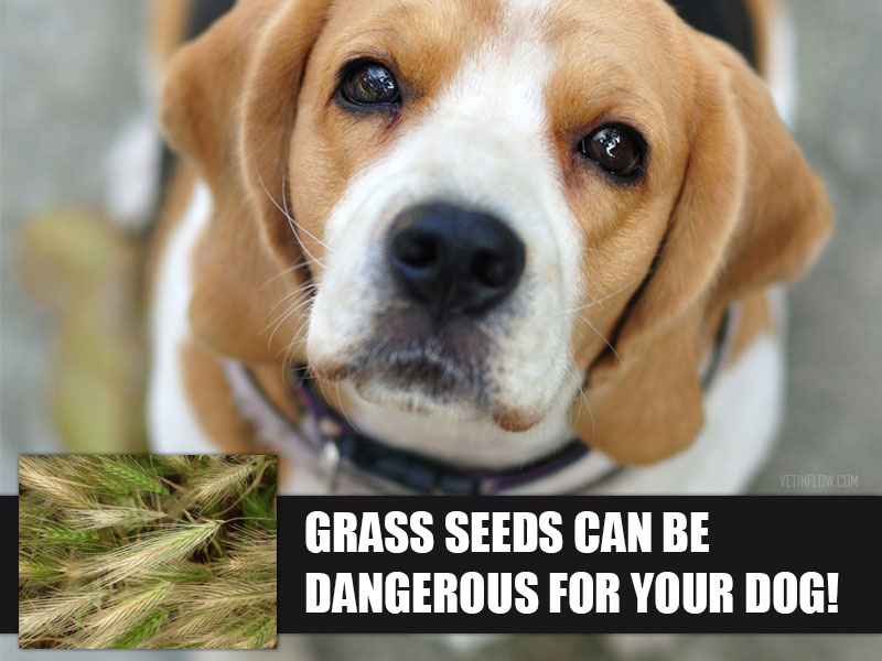 Blog post - Grass seeds can be dangerous for your dog