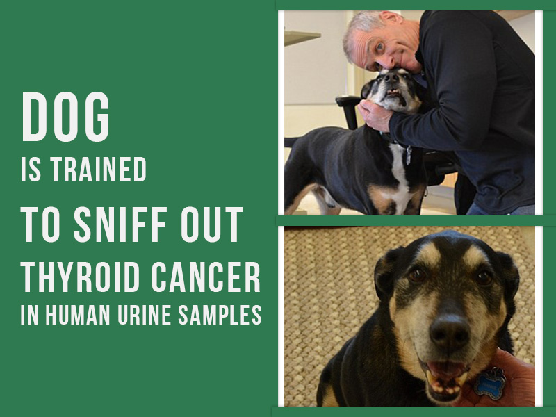 Dogs 26 - Dog is trained to sniff out thyroid cancer in human urine samples