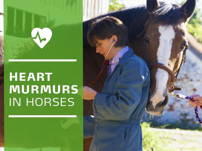 Horse 24 - Heart murmurs in horses