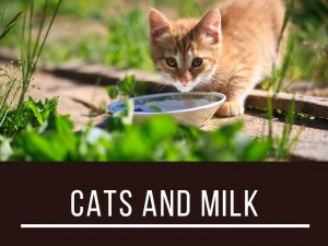 Cats 5 - Cats and milk