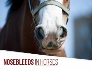 Horse 29 - Nosebleeds in horses