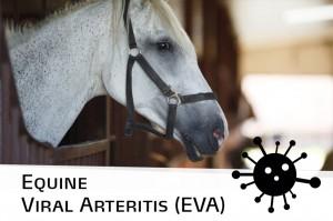 Horse 30 - Equine Viral Arteritis (EVA)