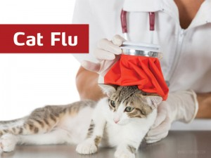 Cats 13 - Cat flu