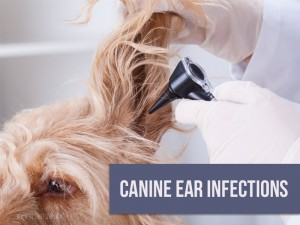 Dogs 36 - Canine ear infections