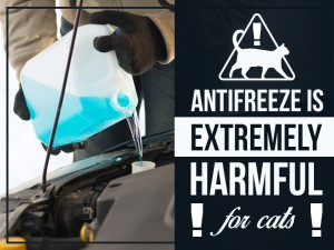 Cats 15 - Antifreeze is extremely harmful for cats!