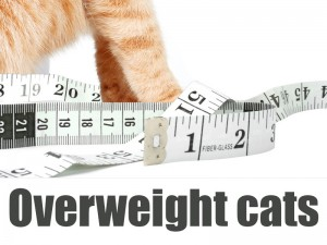 Cats 16 - Overweight cats