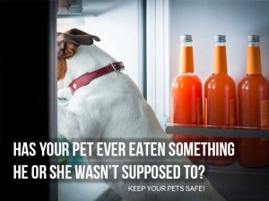Dogs 39 - Has your pet ever ate something he or she wasn't supposed to