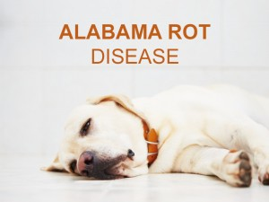 Dogs 41 - Alabama Rot Disease