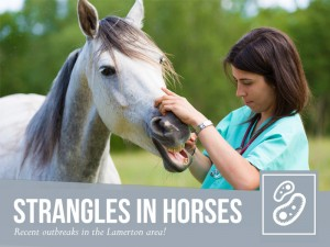 Horse 33 - Strangles in horses
