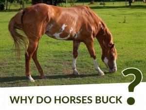 Horse 34 - Why do horses buck