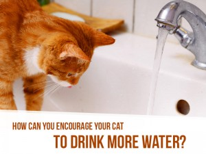 Cats-18---How-can-you-encourage-your-cat-to-drink-more-water