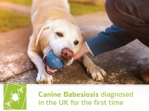 Dogs 43 - Canine Babesiosis diagnosed in the UK for the first time