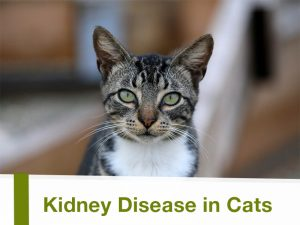 Cats 24 - Kidney Disease in Cats