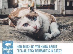 Cats 26 - How much do you know about flea allergy dermatitis in cats