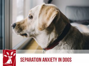 Dogs 47 - Separation Anxiety in Dogs