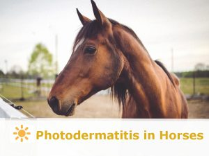 Horse 39 - Photodermatitis in Horses