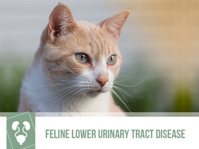 Cats 29 - Feline Lower Urinary Tract Disease