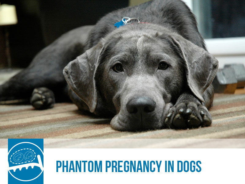 Dogs 48 - Phantom Pregnancy in Dogs