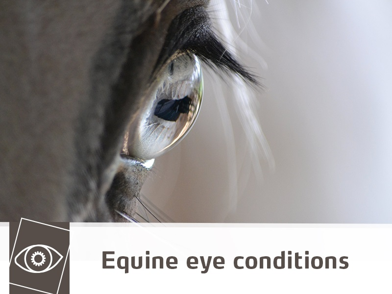 Horse 40 - Equine eye conditions