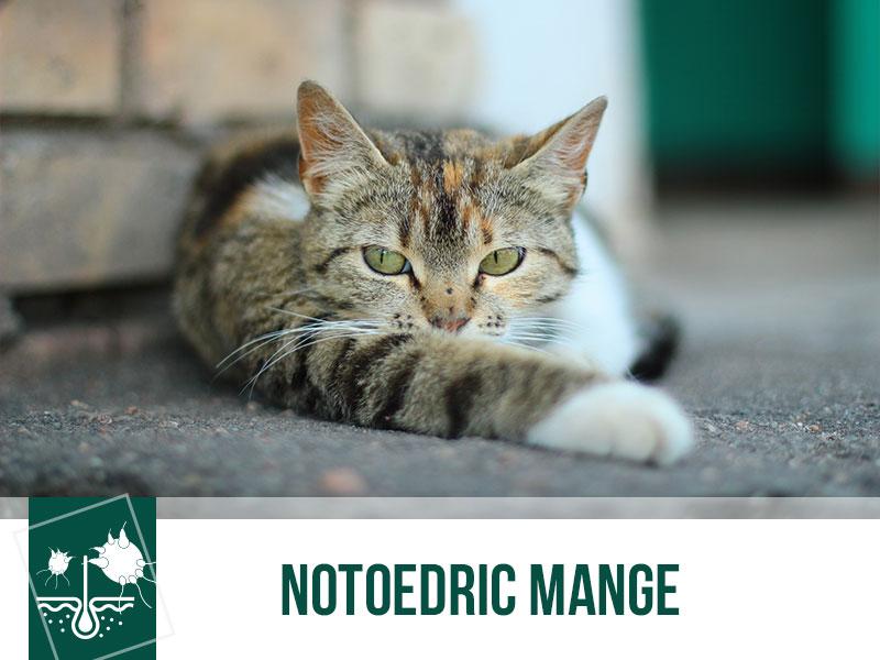 cats-30-notoedric-mange