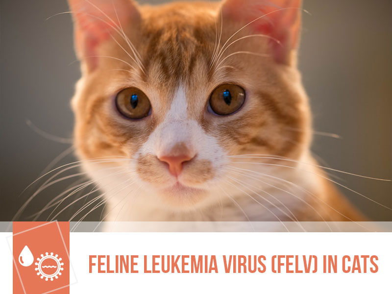 cats-31-feline-leukemia-virus-felv-in-cats