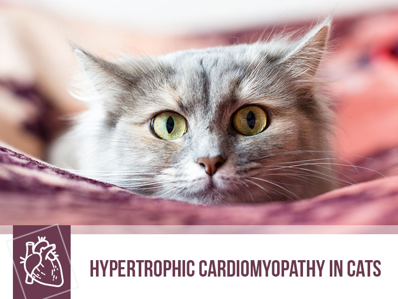 cats-32-hypertrophic-cardiomyopathy-in-cats