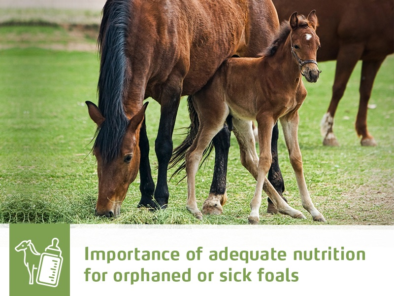 horse-43-importance-of-adequate-nutrition-for-orphaned-or-sick-foals