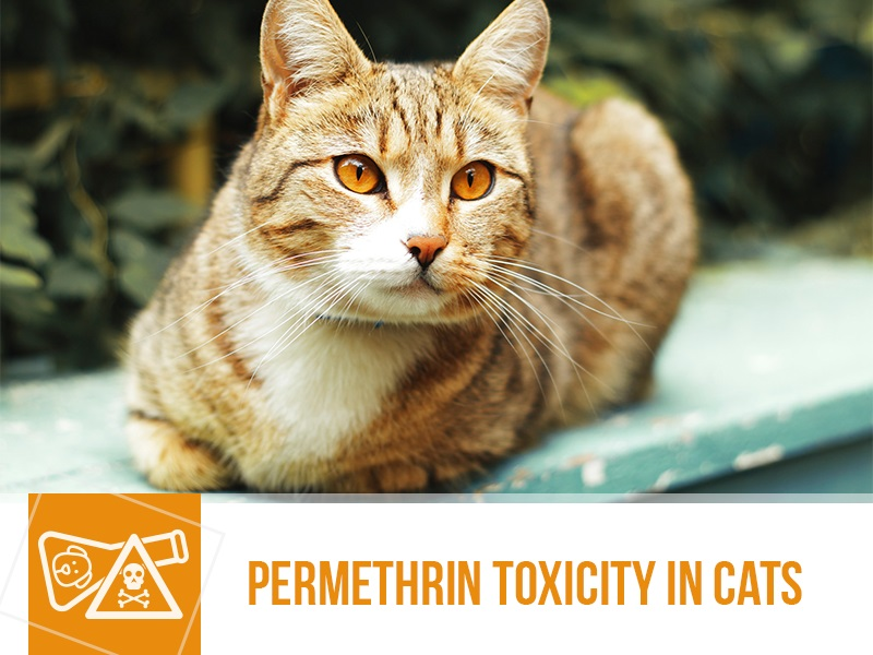 cats-35-permethrin-toxicity-in-cats