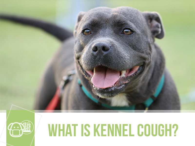 dogs-51-what-is-kennel-cough